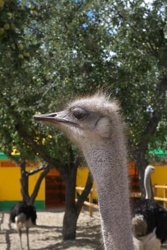 ostrich03